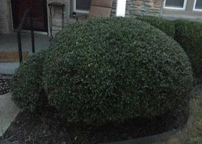 Huntsville AL Pruned Bush